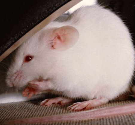 El sueño con una rata blanca, uno de los mas desagradables que existen