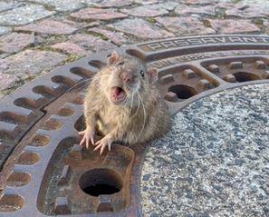 Significado de un sueño con una rata grande, gigante....