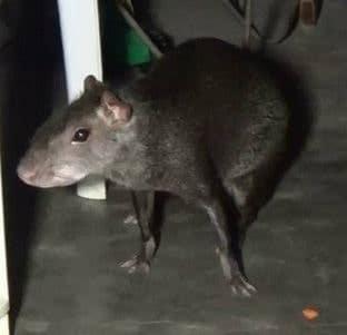 Sueño repetitivo con una rata gris