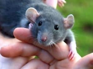 Sueño repetido con una rata pequeña