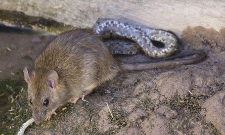 Soñar con ratas y serpientes, recurrente y peligroso....