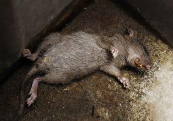 Soñar con una rata muerta, mal presagio....