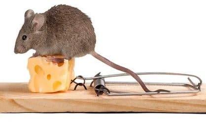 Rata a punto de caer en la ratonera