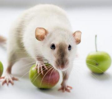 Has soñado con una rata blanca y debes conocer que significa