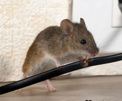 Soñar con una rata viva - Todo un desafio